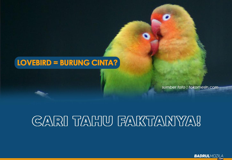 Fakta Tentang Burung Lovebird